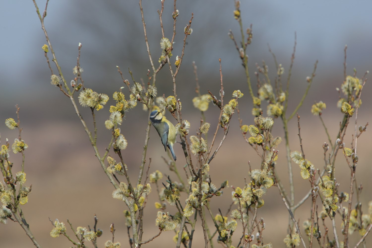 Blue Tit, Graham Coules