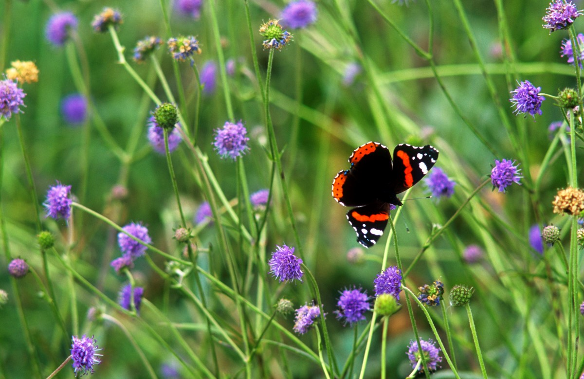 Red Admiral and Scabious, Stephen Davis